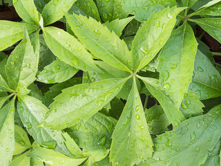 Closeup of Virginia Creeper Plant Leaves