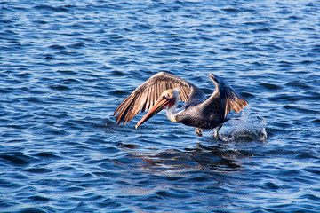Closeup large brown pelican with spread wings taking off from the water