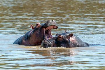 Wall Mural - Hippo (Hippopotamus amphibius) in the river