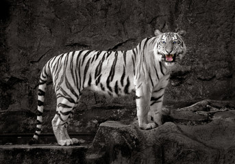 White Tiger resting on the rocks.