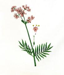 Baldrian..aus: Moritz Willkomm: Naturgeschichte des Pflanzenreichs, 4. Aufl., Esslingen und M¸nchen 1887, Tafel III, Nr. 1..