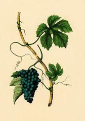Weinstock.aus: Moritz Willkomm: Naturgeschichte des Pflanzenreichs, 4. Aufl., Esslingen und München 1887, Tafel XIII, Nr. 1.