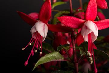 Fuchsia Hybriden III