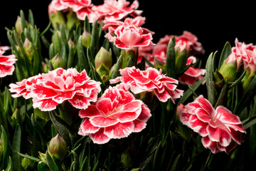 Gartennelke, Dianthus II