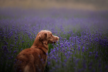 dog on a lavender field. Red pet in nature. Nova Scotia Duck Tolling Retriever outdoor
