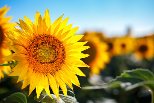 Beautiful field of sunflowers. Rural landscapes under bright sunlight. Background of ripening sunflower. Rich harvest.