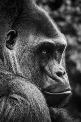 Gorille noir et blanc