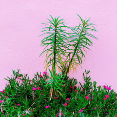 Tropical plant on pink wall. Plants on pink concept