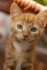 Lovely Red Hair Kitten