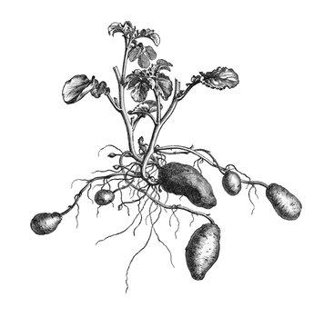 Kartoffelpflanze.aus: Marie Adenfeller, Friedrich Werner: Illustriertes Koch- und Haushaltungsbuch, Friedrichshagen 1899/1900, S. 432, Fig. 543.