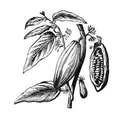 Zweig und Frucht des Cacaobaumes.aus: Marie Adenfeller, Friedrich Werner: Illustriertes Koch- und Haushaltungsbuch, Friedrichshagen 1899/1900, S. 119, Fig. 184.