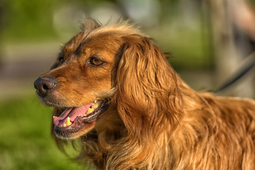 red-haired English cocker spaniel