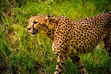 Cheetah walk on meadow in zoo Austria Steiermark Herberstein Styria tourist destination Stubenberg am See