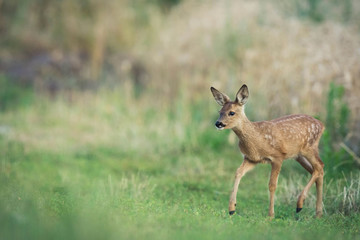 fawn deer wildlife photo