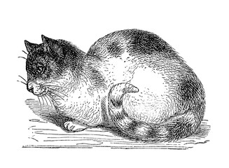 Katze.aus: Marie Adenfeller, Friedrich Werner: Illustriertes Koch- und Haushaltungsbuch, Friedrichshagen 1899/1900, S. 440, Fig. 554.