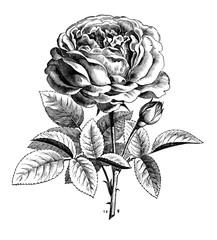 Rose La Reine.aus: Theodor Lange: Allgemeines Illustriertes Gartenbuch, Bd. 1, Leipzig 1902, S. 413, Abb. 461.