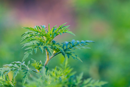 American common ragweed or Ambrosia artemisiifolia causing allergy