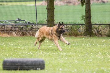 Portrait of a tervuren dog living in Belgium