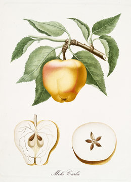 Old isolated botanical watercolor detailed illustration of Mela Carla fruit, Carla apple, with a further side section and top section. By Giorgio Gallesio publ. 1817, 1839 Pisa Italy