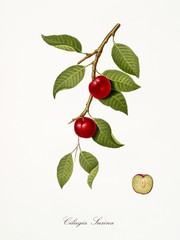 cherry, also known as cherry plum, cherry tree leaves and fruit section with kernel isolated on white background. Old botanical detailed illustration By Giorgio Gallesio publ. 1817, 1839 Pisa Italy