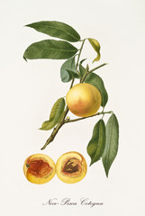 Yellow nectarine Peach on its single branch with leaves and single fruit section with kernel isolated on white background. Old botanical detailed illustration realized by Giorgio Gallesio on 1817,1839