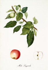 Apple, called Lazzerola apple, on its single branch with leaves and isolated single fruit section on white background. Old botanical detailed illustration realized by Giorgio Gallesio on 1817, 1839