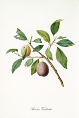 Yellow and brown plum on single little branch with leaves isolated on white background. Old botanical detailed illustration realized by Giorgio Gallesio on 1817, 1839