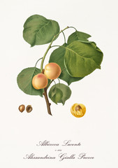 Couple of rounded yellow apricots on single little branch with leaves isolated on white background. Old botanical detailed illustration realized by Giorgio Gallesio on 1817, 1839