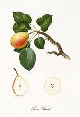 Pear, called royal pear, on its single branch with leaves and isolated single fruit section on white background. Old botanical detailed illustration realized by Giorgio Gallesio on 1817, 1839