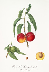 Couple of rounded red peaches on single little branch with leaves and single fruit section with kernel isolated on white background. Old botanical illustration by Giorgio Gallesio on 1817, 1839