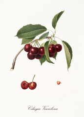 purplish succulents cherries on single little branch with leaves and single fruit section with kernel isolated on white background. Old botanical illustration by Giorgio Gallesio on 1817, 1839