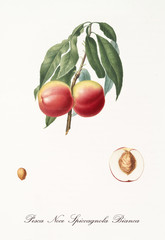 couple of red smooth peaches on single little branch with leaves and single fruit section with kernel isolated on white background. Old botanical illustration by Giorgio Gallesio on 1817, 1839