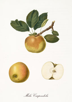Single yellow brownish apple on part of a single branch and isolated fruit section and kernel on white background. Old botanical detailed illustration by Giorgio Gallesio on 1817, 1839