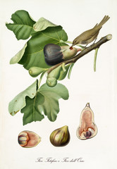 Hybrid dark and white figs on their fig branch with leaves, isolated on white background. Single fruit section beneath the composition. Old botanical illustration by Giorgio Gallesio on 1817, 1839