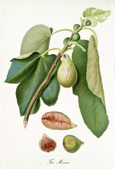 Fig hanging from its branch with leaves and section of the fruit. Elements are isolated over white background. Old detailed botanical illustration by Giorgio Gallesio published in 1817, 1839
