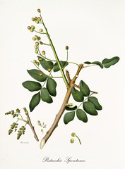 pistachio branch with leaves and other botanical elements. Graphic composition is isolated over white background. Old detailed botanical illustration by Giorgio Gallesio published in 1817, 1839