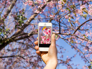 Woman using a smart phone to take a photo of a pink tropical sakura flower