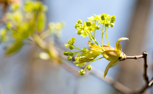 Beautiful spring time floral background. Blooming maple tree branch, yellow flowers and fresh leaves close-up. Selective focus