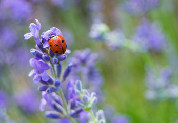 Lady bug on lavender flowers