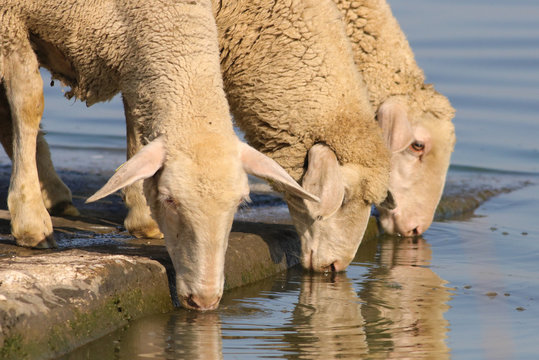 Three thirsty sheep on the watering place