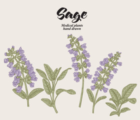 Hand drawn Salvia officinalis flowers and leaves. Sage garden plant. Vector illustration vintage.