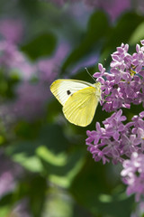 bright yellow butterfly on lilac flowers. common brimstone