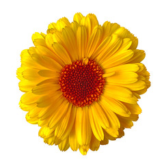 flower yellow red calendula, isolated on a white  background. Close-up. Element of design.