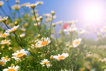Wall Mural - White Summer wildflowers