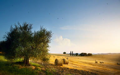 Italy. Tuscany farmland and olives tree; summer countryside Landscape .