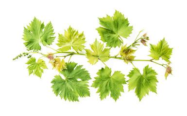 Fresh green leaves border Grape vine leaf white background