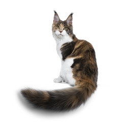 Pretty Calico Maine Coon cat girl sitting backwards with tail hanging over edge, looking over shoulder into lens isolated on white background