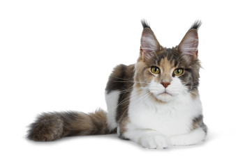 Pretty calico Maine Coon girl laying down with tail beside body and looking straight at lens isolated on white background
