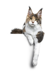 Pretty calico Maine Coon girl laying down with paws hanging over edge and looking straight at lens isolated on white background