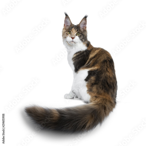 ce2c263ebc Pretty Calico Maine Coon cat girl sitting backwards with tail hanging over  edge